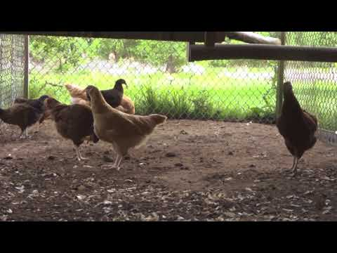 CHICKENS; HOW I INTEGRATED OLD HENS and PULLETS