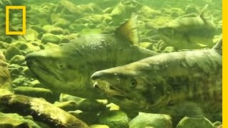 Why Are These Scientists Collecting Salmon Sperm?   National Geographic