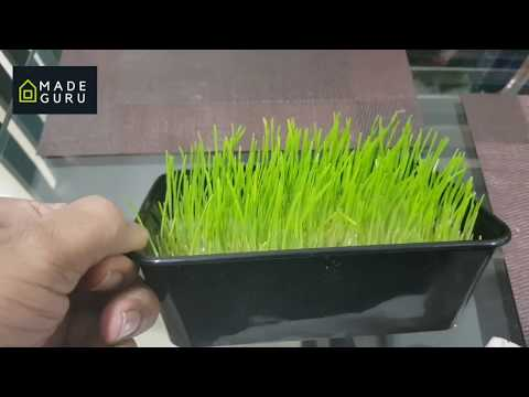 ORGANIC WHEAT GRASS GROW AT HOME -TELUGU