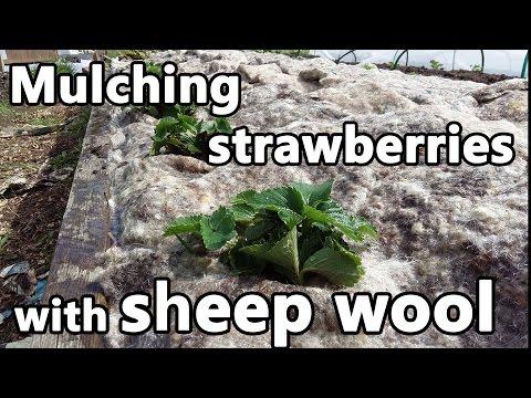 Mulching strawberries with sheep wool and starting nettle tea