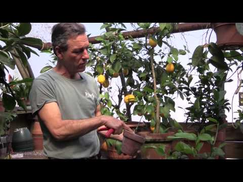 Pruning Meyer Lemons in Containers