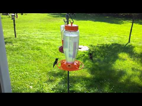 Hummingbirds battle over feeder