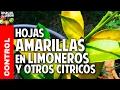 Hojas Amarillas En Las Plantas Limoneros Y Naranjos Fertiliz