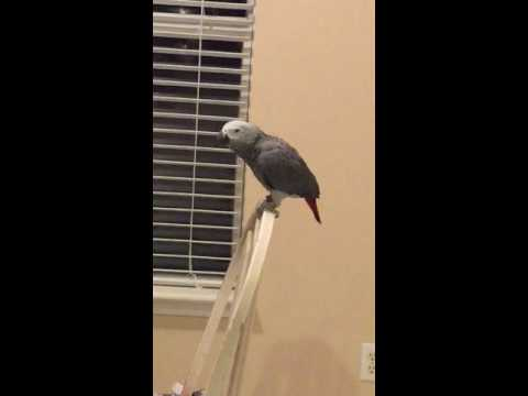 African grey parrot farts for the ladies!