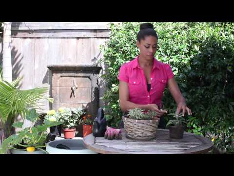 How to Prune Culinary Sage : The Chef's Garden