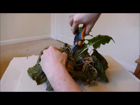 Reviving My Gerbera Plant, Plus Repotting
