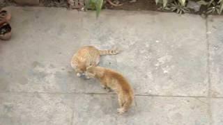 Desi cat fight 1