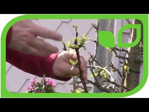 How to prune an older Malini tree (columnar apple tree)