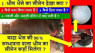 4 minutes, 36 seconds) Best Murrah Bull Semen Video
