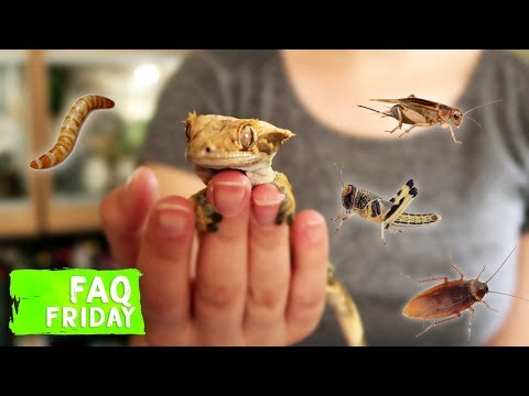 Do Crested Geckos Really Need Insects?   FAQ FRIDAYS