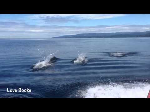 Dall's Porpoise Off Sooke BC