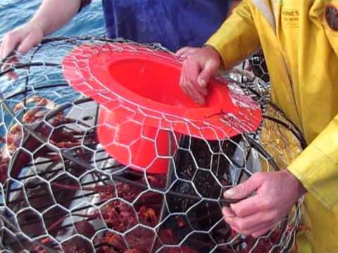 Rock Lobster  Fishing Beachport S A  Honka Crayfish