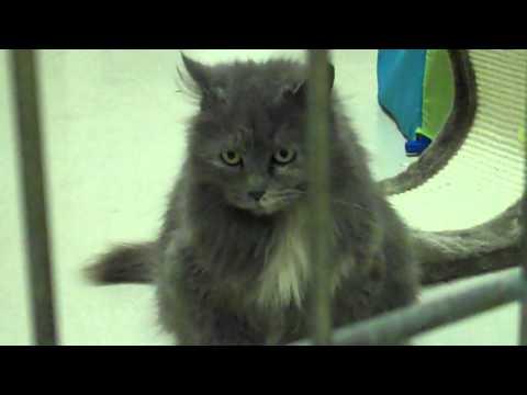 Meet Natasha a Domestic Longhair currently available for adoption at Petango.com! 3/3/2011 9:27:52 A