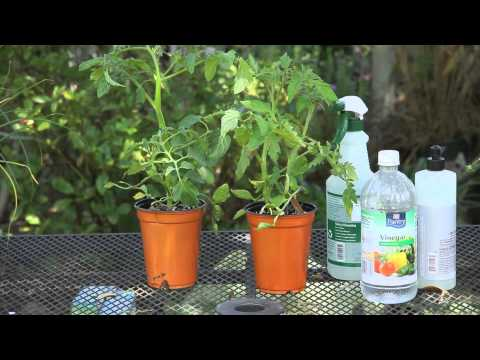 Spray for Caterpillars on Tomatoes : Garden Space