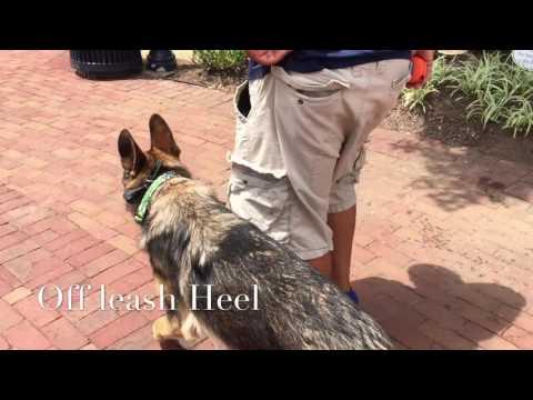 8-Month Old German Shepherd, Starke! German Shepherd Dog Trainers Virginia