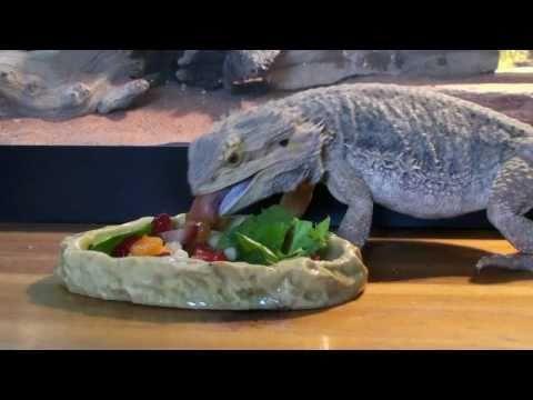 Bearded dragon eating salad (fast forwarded)