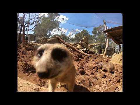We're going inside our meerkat habitat!
