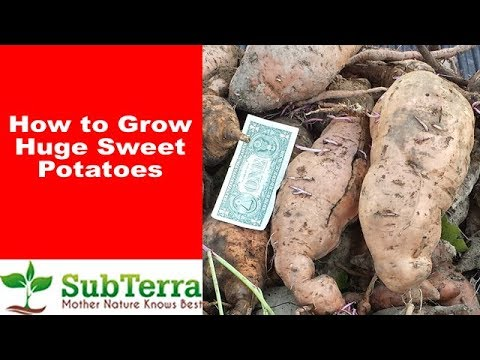 How to Grow Huge Sweet Potatoes BTE Style
