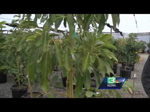 Citrus farmers bundle up ahead of freezing temps