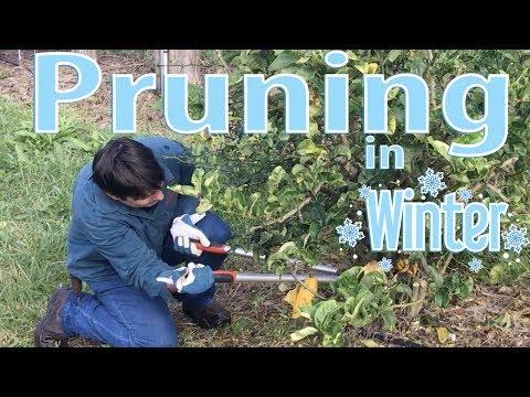 Pruning Fruit Trees in Winter (TimeLapse)