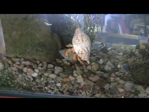 Footage is a hermit crab changing shells