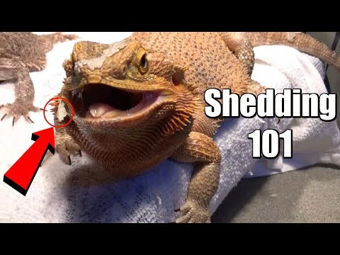 Bearded Dragon Shedding Tips & Montage