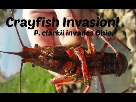 Crayfish Invasion! (P. clarkii invades Ohio)