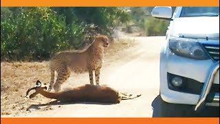 Cheetah Kills Impala That It Chased Into Car
