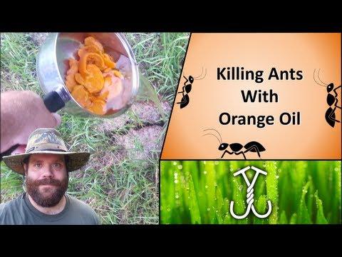 Killing Ants with Orange Oil