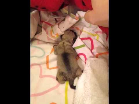 newborn pug puppy 'sheldon'