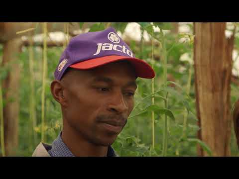 Shape Up Sn 07 - Ep 19 Tomatoes, Kienyeji Chicken, Dairy Cows (Swahili)
