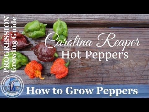 How to Grow Carolina Reaper Hot Peppers