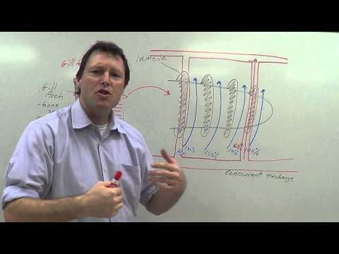 Countercurrent Exchange (Gills)