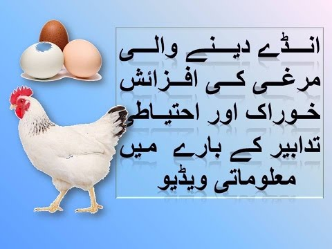 How to Keep Your Chickens in winter and summer safe from all illness in urdu hindi