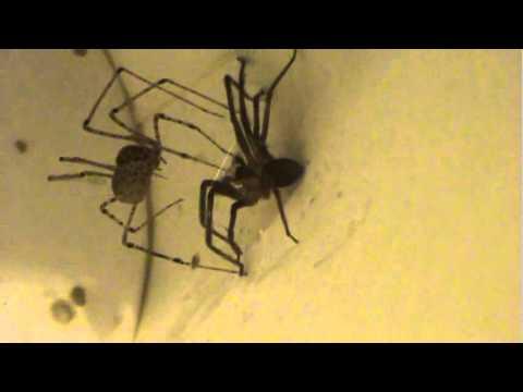 Spitting Spider (Scytode)-Natural Brown Recluse Spider Trap