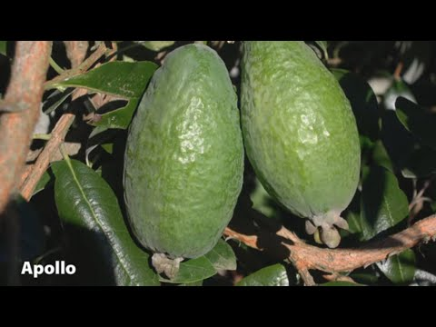 How to Grow Feijoas | Mitre 10 Easy As