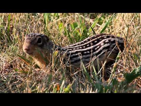 Thirteen-lined ground squirrel close up