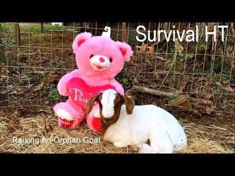 Cute Tip For Raising An Orphan Goat