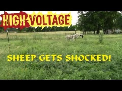 SHEEP GETS SHOCKED!! How To Install An Electric Fence!?!