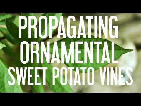 How to Propagate Ornamental Sweet Potato Vines