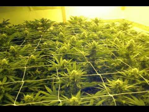 Eight weeks S.AG.E. grow in 4 minutes / www.limbo-co.com