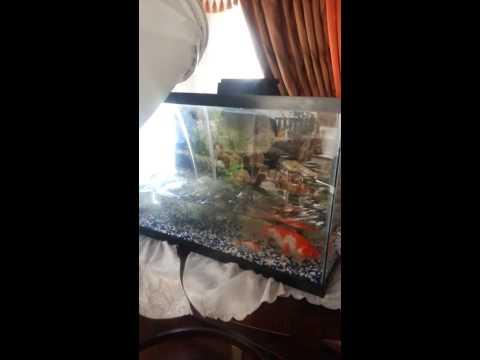 Cleaning goldfish aquarium.