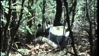 How do giant pandas fall in love (in the wild)?