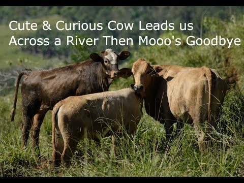 Cute & Curious Cow Leads us Across a River Then Mooo's Goodbye