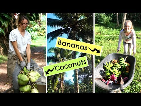 How my WORK TRADE in HAWAII looks like! 🌴 Harvesting TROPICAL FRUIT!
