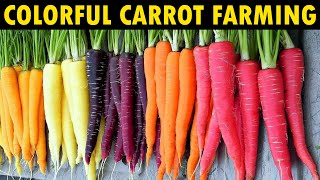 Growing different Color Carrots   Carrot Farming