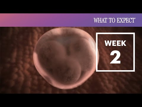 2 Weeks Pregnant | What To Expect
