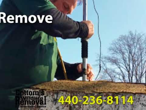 Raccoon Trapping and Removal Services in Cleveland, Ohio