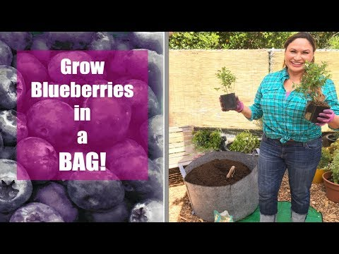 How to Grow Blueberries in a Grow Bag Step by Step