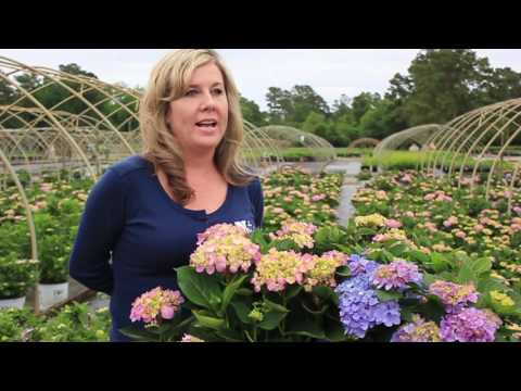 In The Nursery: Let's Dance Hydrangea